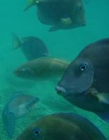 Lotsa fish - Blue tangs etc