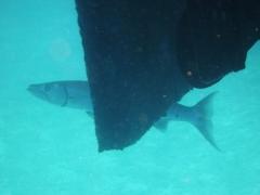 Big shy barracuda