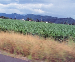 Cornfields, outside Linden Washington