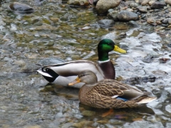 Two ducks in Bear Creek Park