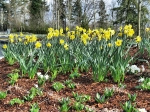 Fleetwood Gardens - Daffodils