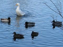 Goose Boundary Park