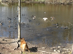 Duck chaser Max