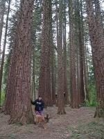 Redwoods